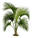 palm tree-rycina