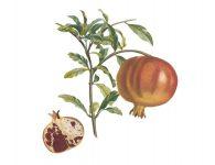 pomegranate-rycina